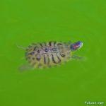 Красноухая черепаха, плывущая в зеленоватых водах пруда.