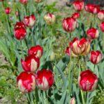 Полосатые красно-жёлто-беловатые тюльпанчики в начале мая