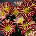 Полосатые красно-жёлтые цветки хризантемы комнатной