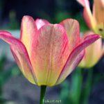 Желтоватый тюльпан с тёмно-малиновыми полосочками