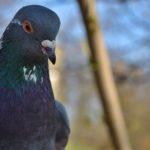 Сизый голубь (Columba livia) вблизи