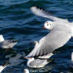 Внимательный взгляд пролетающей рядом чайки