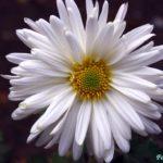 Белый цветок простой хризантемы с жёлто-зелёной серединкой