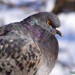 Профиль сизого голубя, нахохлившегося на сильном морозе зимой