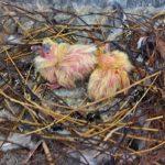 Птенцы голубя однодневного возраста.