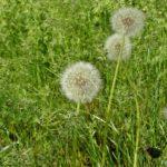 """""""Пушистые"""" отцветающие одуванчики и шелковистые майские травы"""