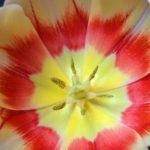 Яркий тюльпан вблизи