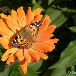 Репейница (Vanessa cardui) на оранжевом цветке циннии.