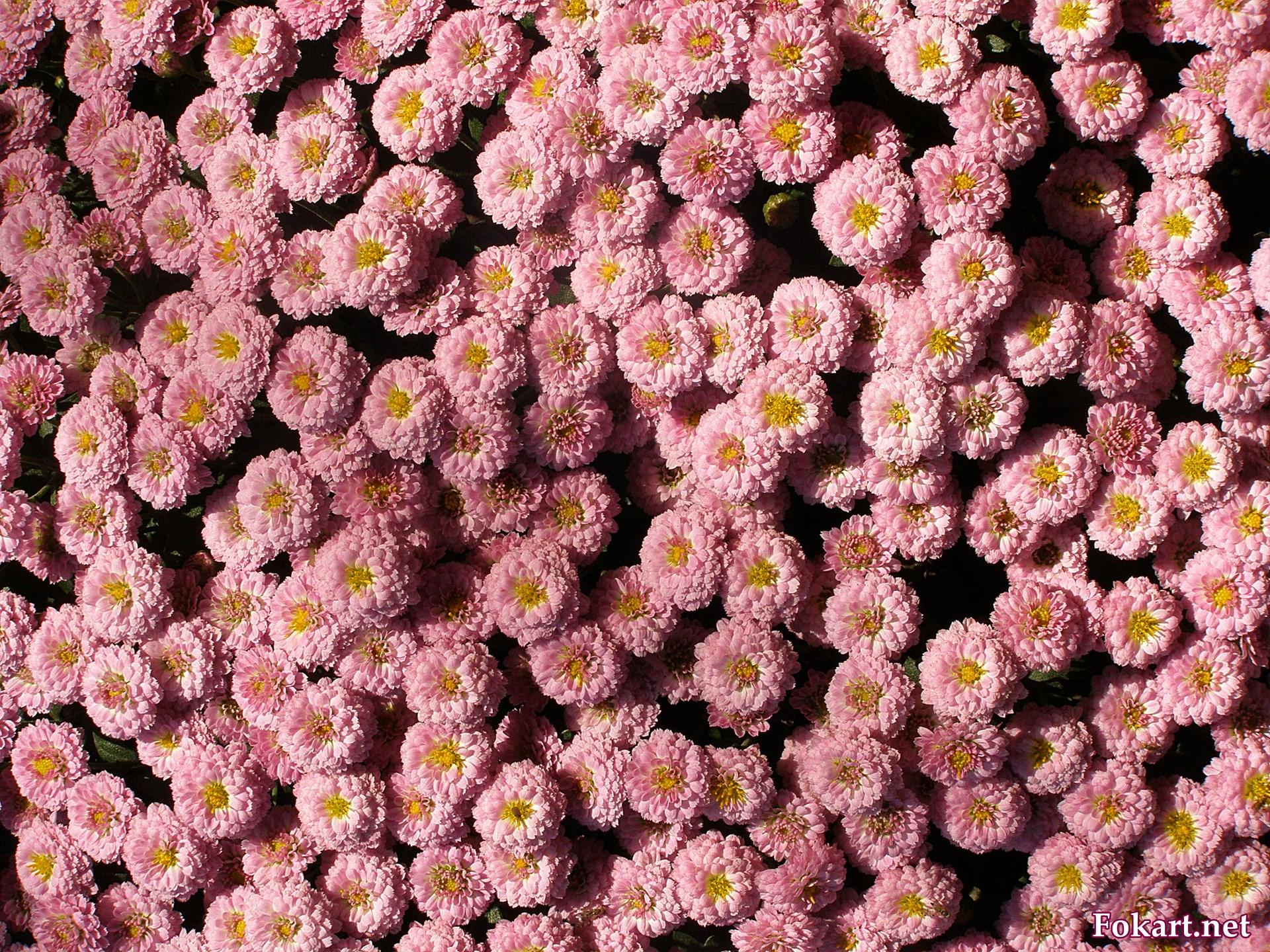 Хризантема шаровидная, мультифлора, розовая