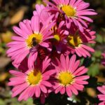 Мелкие розовые хризантемы и пчела в ноябре