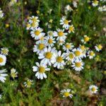 Белоснежные лепестки и жёлтые серединки цветков ромашки аптечной