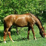 Рыжая лошадь пасется на зеленой лужайке
