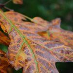 Листья дуба вблизи. Рыжие, осенние, с ярко-зелёными прожилками