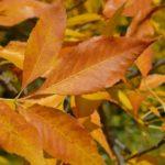Рыжие осенние листья крупным планом