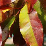 Рыжеющие листья черёмухи крупным планом