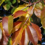 Осенняя ветка с рыжими листьями черёмухи