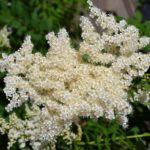 Цветение рябинника рябинолистного ( sorbaria sorbifolia) продолжается всё лето