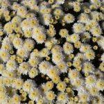 Светлые мелкие хризантемы в начале ноября