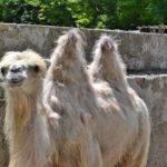 Светлый верблюд линяет, июнь