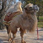 Двугорбый верблюд, или бактриан (Camelus bactrianus) светлой окраски