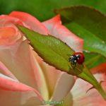 Семиточечная коровка (Coccinella septempunctata) на молодом листочке розы.