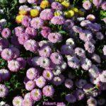 Мелкие сиреневые с белым хризантемы
