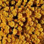 Букет мелких жёлтых хризантем, каждая из которых похожа на маленькое солнышко, в лучах солнечного света