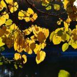Золотые листья над водой, насквозь просвеченные солнцем.