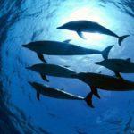 Стая дельфинов. Вид снизу.