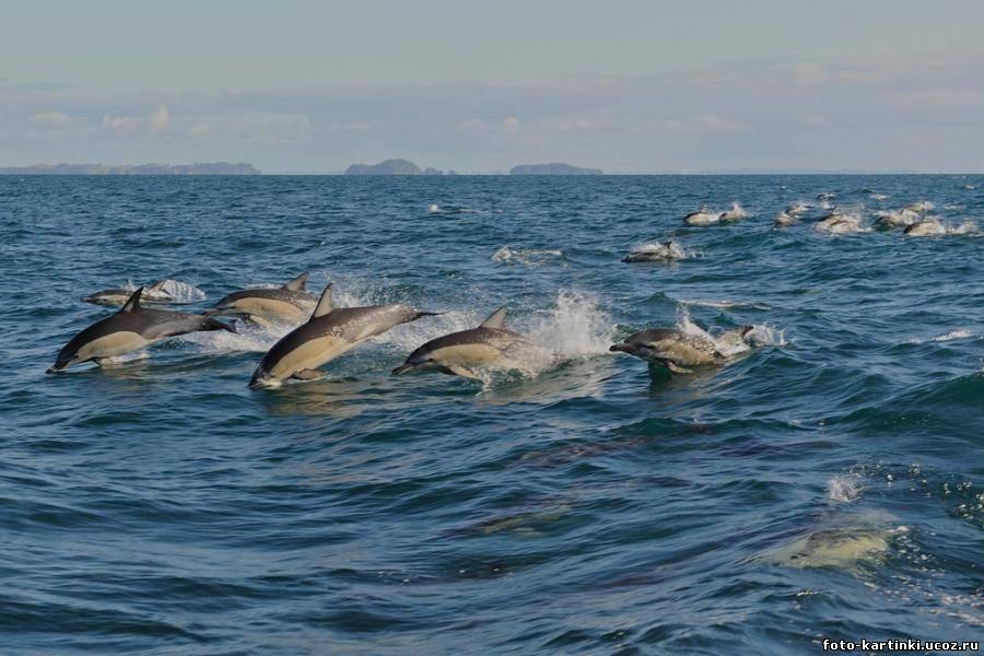 Стая плывущих дельфинов