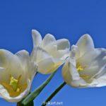 Три белых тюльпана на фоне неба