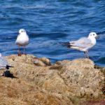 Три чайки на большом скалистом камне в море