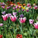 Тюльпанная полянка. На первом плане - розовые тюльпаны с белыми краешками лепестков.