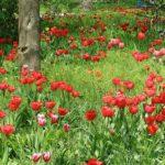 Яркая полянка с тюльпанами в зелёной траве. Фото-обои 1920-1080