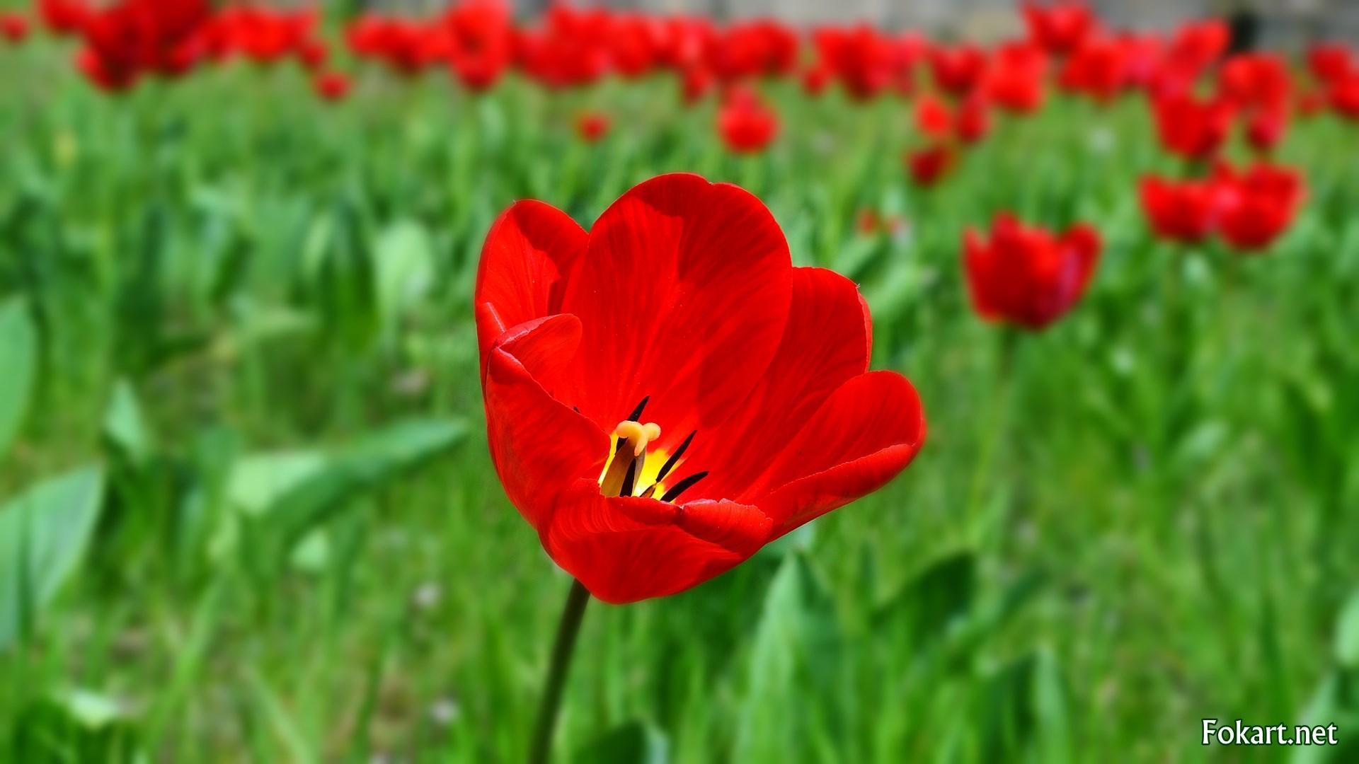 Красный тюльпан в зелени на фоне тюльпанов.