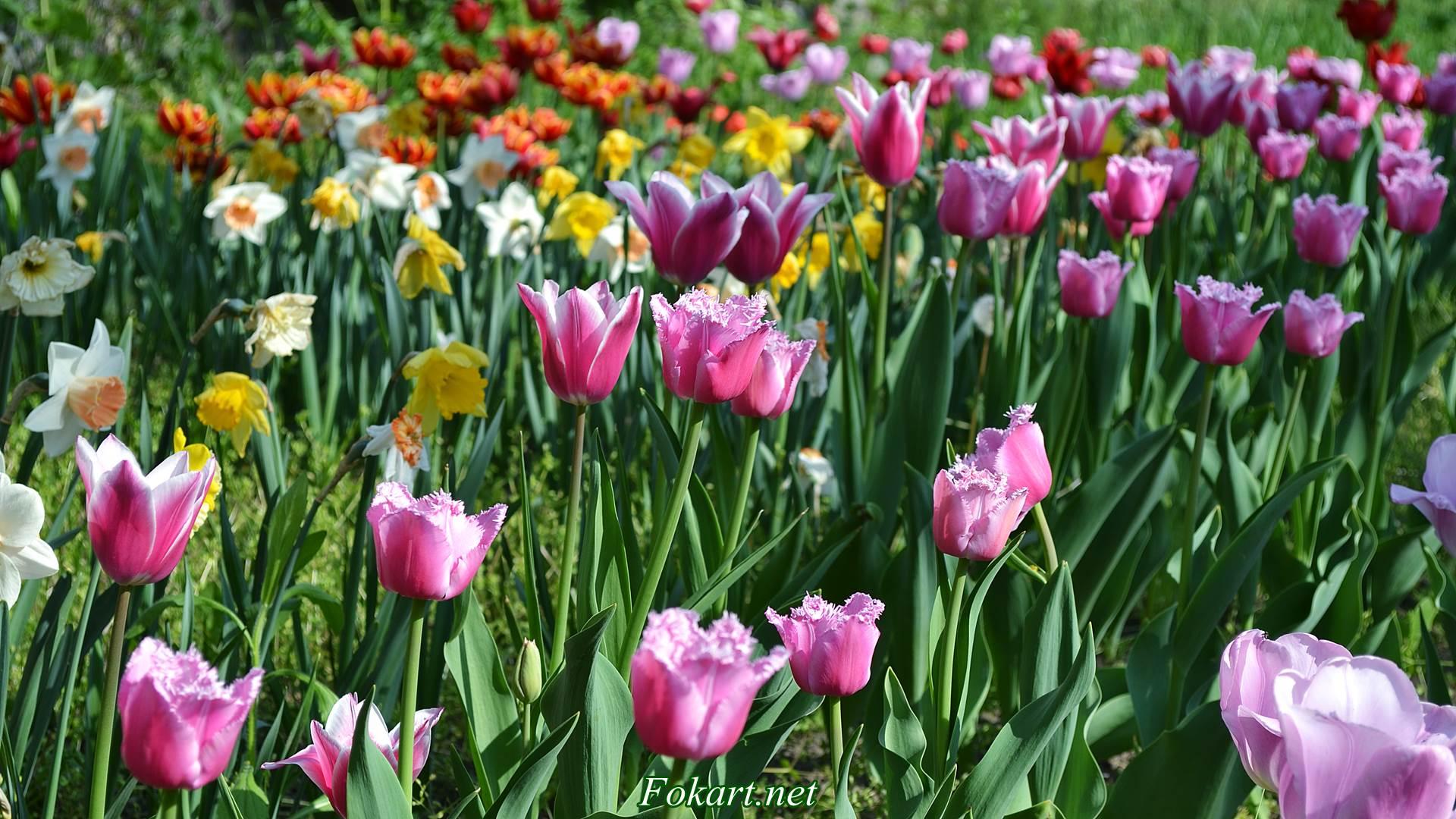 Тюльпаны и нарциссы на весенней клумбе