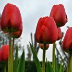 Красные тюльпаны в капельках дождя
