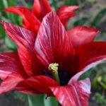 Лилиецветный тюльпан с острыми кончиками лепестков и пёстрой красно-белой расцветкой