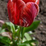 Яркий полосатый тюльпан, алый с белым. Крупный план.
