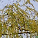 Ветка ивы в конце апреля
