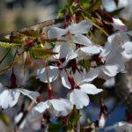 Цветение сакуры Incisa. Бонсай.