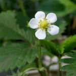 Цветок земляники