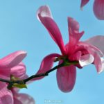 Цветок магнолии снизу