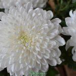 Белая хризантема крупным планом, фото-картина