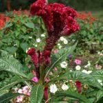 Целозия, или Петуший гребешок (Celosia cristata)