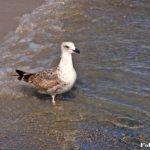 Молодая средиземноморская чайка у кромки воды