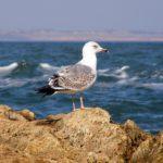 Молодая средиземноморская чайка на скалистом камне в море