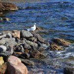 Чайка на камнях у берега