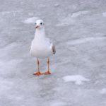 Черноморская чайка на льду замёрзшего у берега моря