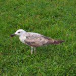 Молодая средиземноморская чайка на зелёной траве.